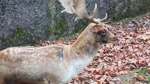 European Fallow Deer Calling Footage
