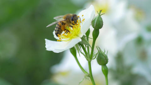 Macro of a bee pollinating a white flower Live Action