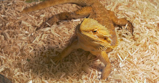Pogona Close Up Footage