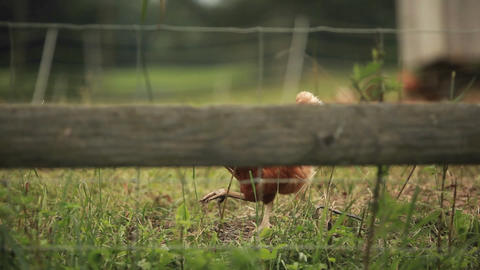An oblique shot of a rooster through a fence Stock Video Footage