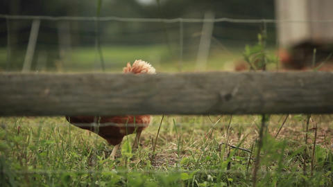 An oblique shot of a rooster through a fence Footage