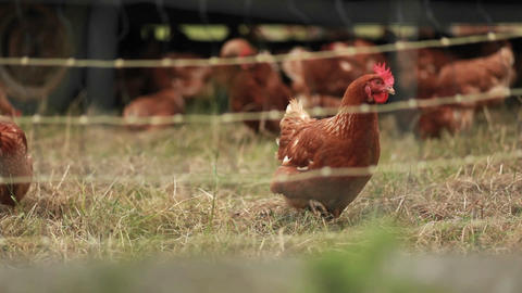Roosters are seen on a farm through barbed wire Stock Video Footage