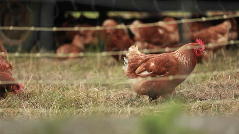 Roosters are seen on a farm through barbed wire Footage