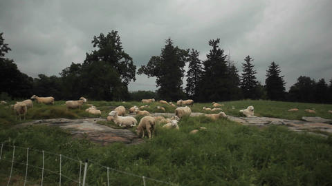 Many shorn sheep sit in the fields Footage