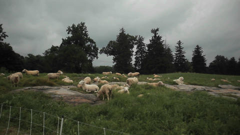 Many shorn sheep sit in the fields Stock Video Footage