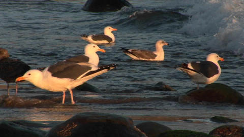 Panning-shot of seagulls on an ocean beach Stock Video Footage