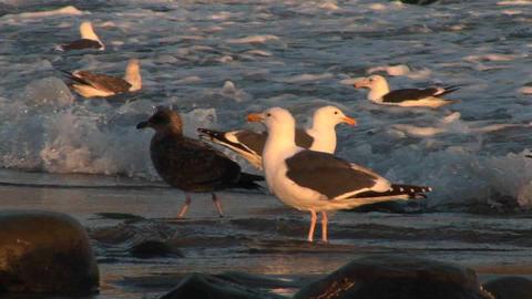 Panning-shot of seagulls on an ocean beach Stock Video Footage