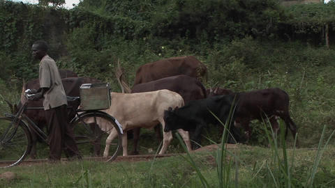 Medium shot of men leading cattle down a path in a... Stock Video Footage