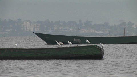 Birds sit on the edge of fishing boats in Gaba village, Lake Victoria, Uganda Footage