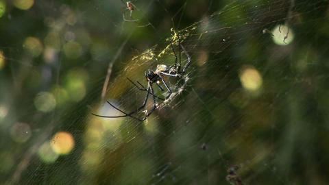 A large spider spins a web Stock Video Footage