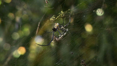 A large spider spins a web Footage