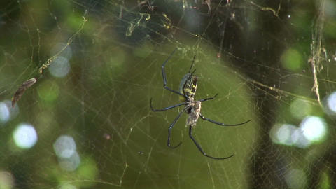 A spider hangs in its web in front of a Jackfruit tree Stock Video Footage