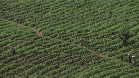 Birds-eye view of African farmers walking across a field... Stock Video Footage
