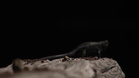 A lizard appears to be doing push ups against a darkened... Stock Video Footage