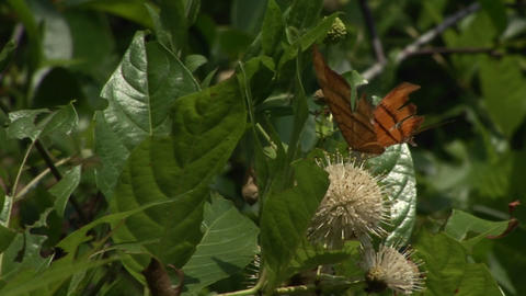 A colorful butterfly sits and flaps its wings on a plant... Stock Video Footage