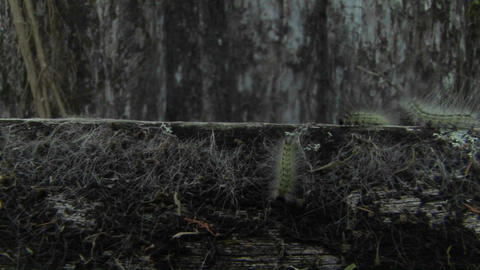 Several caterpillars move across a branch Stock Video Footage