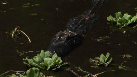 An alligator moves quickly through brown water in the... Stock Video Footage