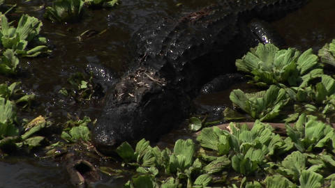 An alligator moves quickly through brown water in the Florida Everglades Footage