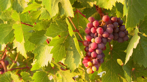 Beautiful grapes grow on a vine in a vineyard Footage