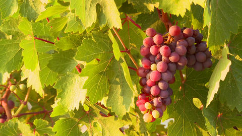 Beautiful grapes grow on a vine in a vineyard Stock Video Footage