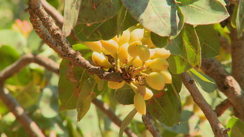 Pistachios grown in an orchard Footage