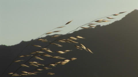 A strand of wheat shines in the sun Stock Video Footage