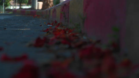 Rose petals line a street in Haifa, Israel during the... Stock Video Footage