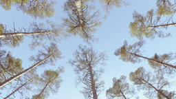 Overhead Pine Trees Rotating Shot Footage