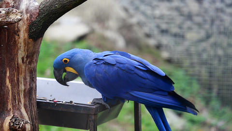 Hyacinth Macaw Eats Seeds Footage