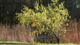 yellow weeping willow Footage