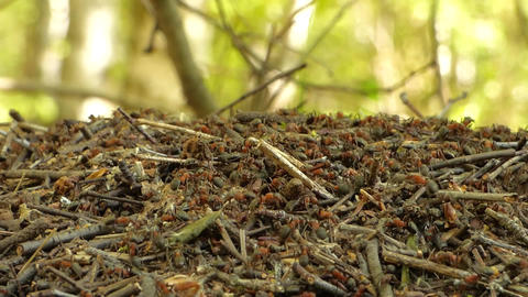Anthill In Forest 0