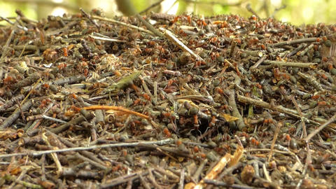 Anthill In Forest 2