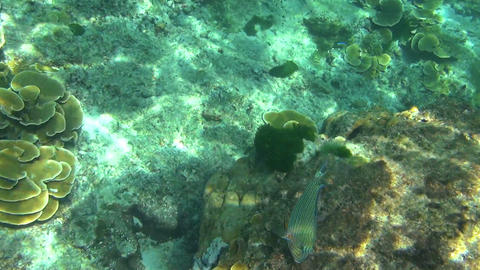 Tropical parrot fish Footage