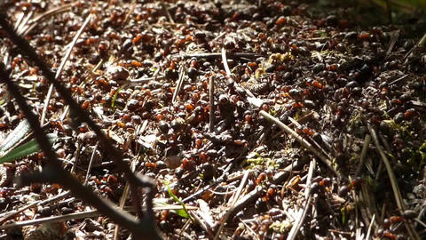 Anthill in forest Footage