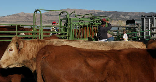Cattle and ranchers vaccinate checking health cows DCI 4K 362 Footage