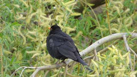 Blackbird 0