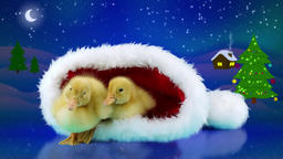 Funny Christmas two newborn little yellow ducklings relaxing in the Santa Claus Footage