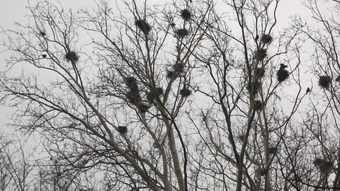 Crows In Nests