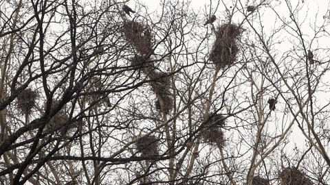 Crows In Nests 1