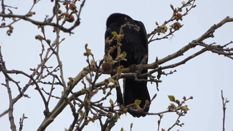 Crows In Nests 2