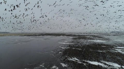 Birds/Snow Geese Flyer Over A Wet Field Drone Live Action