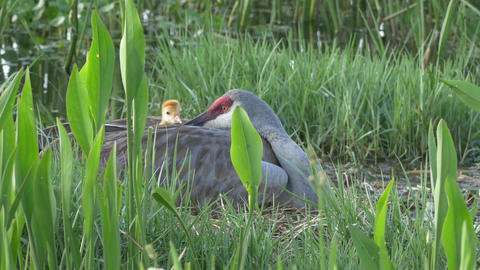 Baby Sandhill Cranes Pops Up From Under Mom's Wing in Nest, 4K Footage