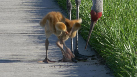 Two Sandhill Crane Chicks Fight Over Mole Cricket, 4K Footage