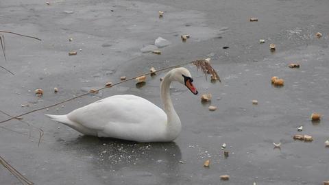 Feeding Swan 0