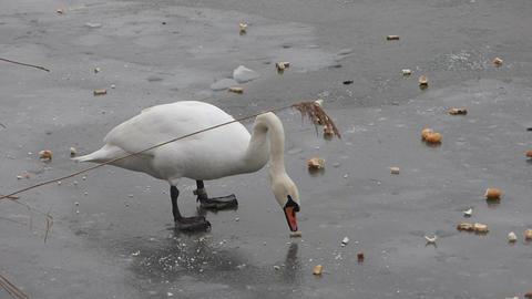 Feeding Swan 1