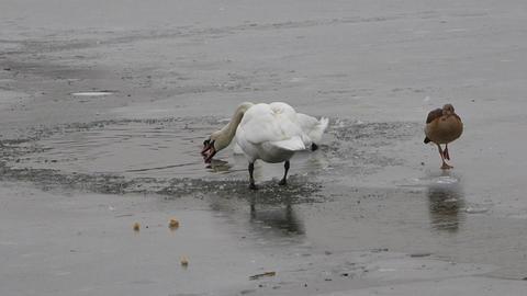 Feeding Swan 2