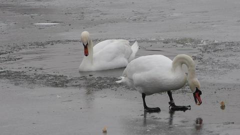 Feeding swan on frozen pond Footage