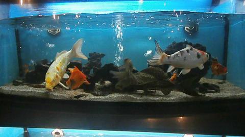 Fishes in aquarium Footage