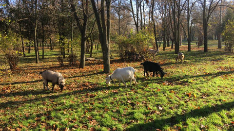 Flock of domestic goats in the early morning Archivo