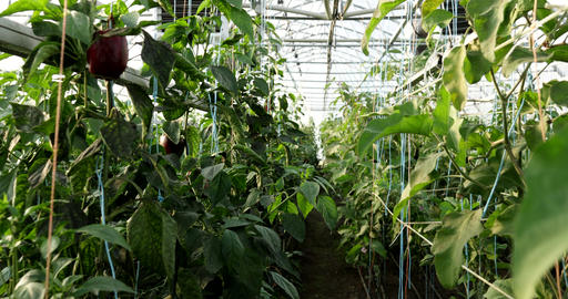 Greenhouses for vegetables. Pepper greenhouse Live Action